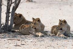 DSC_3542.JPG (manuel.schellenberg) Tags: namibia animal etosha nationalpark lion