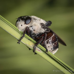Botfly (Turk Images) Tags: aspenparkland botfly elkislandnationalpark macrophotography alberta flies insects summer