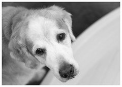 Nick (Eline Lyng) Tags: golden retriever goldenretriever canine bw blackandwhite leica leicas 006 summarits70mm 70mm summarit mediumformat bokeh dof portrait animalportrait littledoglaughedstories littledoglaughednoiret