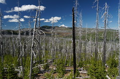 regrowth (rovingmagpie) Tags: oregon mountjeffersonwilderness fireplaysanimportantrole bbfire 90000acres burnscar regrowth mthood touregon summer2016