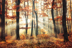 Sunrise Overture XVI. (Zsolt Zsigmond) Tags: forest woods trees tree autumn fall morning sunrise sun sunrays foilage leaves red shine landscape landschaft colour colours colorful picture walk bright day nikkor exposure trail flickr nature art light park