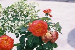(Tori Taylor) Tags: geneva switzerland swiss flower film canon t50 red pretty summer 35mm