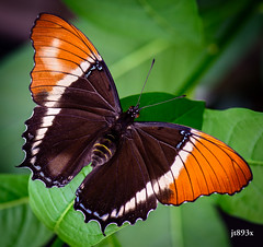 Rusty-tipped Page (jt893x) Tags: 105mm afsvrmicronikkor105mmf28gifed brownsiproeta browntip butterfly d810 insect jt893x macro nikon rustytippedpage siproetaephaphas specanimal