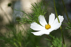 white cosmos flower (kinaaction) Tags: flower white whiteflower sonyilce6000 cosmos cosmosbipinnatuscav nature flora 7dwf
