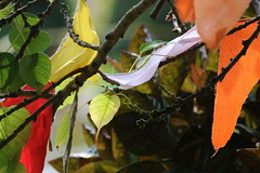 Ficus religiosa (drpunyabratabarma) Tags: sacred fig ficus religiosa bodhgaya
