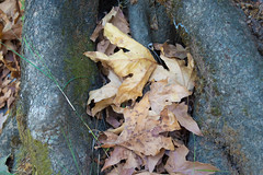(Psinthos.Net) Tags:  psinthos september autumn     nature countryside psinthosvalley valley     leaves   fallenleaves autumnleaves    roots tree   treetrunk planetree  greens   lichens sunnyday day      noon