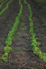 Bors / Pea / Pisum sativum (bencze82) Tags: canon eos 700d voigtlnder apolanthar 90mm f35 slii bors pea pisum sativum