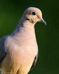 Mourning Dove (Matt Cuda - www.mattcuda.com) Tags: us usa america birdwathching birding birds dove mourniingdove mourninig nc northcarolina wild wildlife
