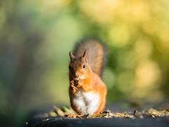Nutbringer (Teemu Kustila Photography) Tags: leicasummiluxm75mmf14 squirrel portrait light green forest tree rodent cute funny nut goldenlight