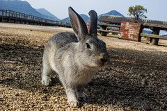 Go low... (Koku85) Tags: rabbit animal perspective japan okunoshima bunny