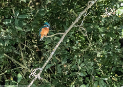 9Q6A6761 (2) (Alinbidford) Tags: alinbidford alancurtis brandonmarsh kingfisher greyheron heron kestrel
