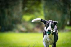 Zac plays ball in the garden at Tigh na Beithe (grahamrobb888) Tags: nikond800 afnikkor80200mm128ed zac dog pet ballgarden green perthshire scotland birnam