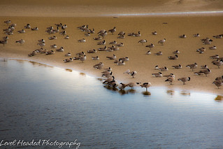 Canada Geese on a sandbank (Branta canadensis) Best viewed large