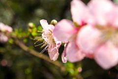 Flores en perspectiva (Adguer) Tags: naturaleza naturalflowers nature natural peachtree durazno perspectiva dof luznatural naturallighting printforsale