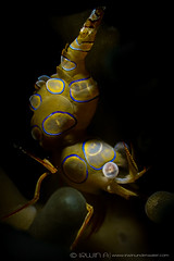 B L U E - R I N G (irwinunderwater) Tags: irwinunderwater irwinang irwinfansclub underwaterphotography scubadiving photooftheday iamnikon underwater uwphoto natgeo shrimp picoftheday ocean macro snoot sealife scuba indonesia juvenile crustacean maumere   padi marinelife scubalife divelife greatshot lighting olympus