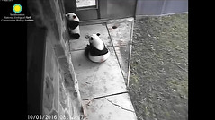 2016_10-03 (gkoo19681) Tags: beibei meixiang treattime stealing badmama begging poorbaby ccncby nationalzoo