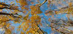 Happy Autumn (theSnoopyG - thanks for over 460.000 views!) Tags: autumn autumnleafcolour autunno autumnleaves autumnal autumnmood nature trees leaves panoramic panorama sky