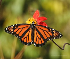 Monarch Beauty (AngelVibePhotography) Tags: nikon blossom closeup nature photography butterflies flowers garden arthropods butterfly outdoor colorful monarch monarchbutterfly nikonp900 dahlia animal depthoffield macro insects orange flower insect northcarolina