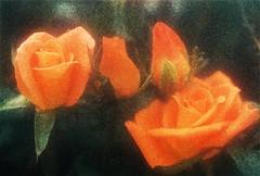 Rosas amarelas   Yellow roses   Roses jaunes   Rose gialle   Rosas amarillas     (Antnio Jos Rocha) Tags: rosas flores cores amarelo rosasamarelas analgica filtro difusor beleza natureza flora