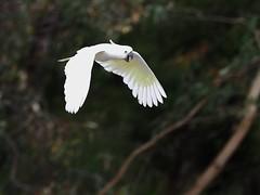 Sulphur-Crested Cockatoo (Jeff_Warner) Tags: birds oly300mmf4 cockatoo