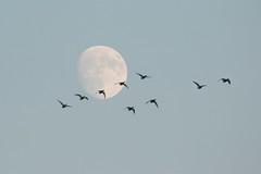 Mallards and the Moon (Steve Byland) Tags: mallard duck moon canon 7d markii
