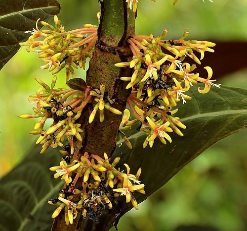 Hoffmannia ghiesbreghtii 3355-1 (1)