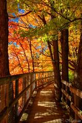161011-10 Chemin de bois (clamato39) Tags: parcchauveau villedequbec provincedequbec qubec canada autumn automne chemin road tree arbre fort forest paysage