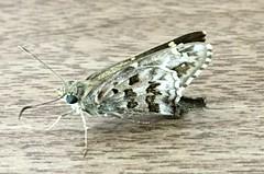 Long-Tailed Skipper Butterfly (robertoguerra10) Tags: compartilharfotos hesperiidae long tailed urbanus skipper butterfly
