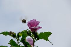 Santiago oct16 512 (F.J.Lima) Tags: animales abejas aire libre flor