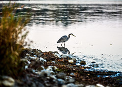 Blue Herring (Daveyal_photostream) Tags: nikon nikor nature water landscape waterscape bird blueherring reflection fowl rocks bigbird meandmygear mygearandme mycamerabag motion movement anawesomeshot soniagallery