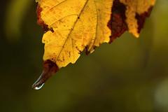 D71_8239A (vkalivoda) Tags: kapka rosa macromondays edge dew droplet autumn leaf foliage depthoffield texture plant list bokeh fall herbst automne otono dautunno