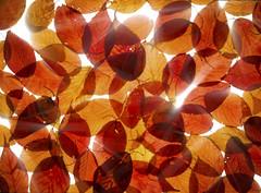Fall Mosaic (mckenziemedia) Tags: fall autumn leaves leaf orange red yellow backlight backlighting backlit glow highkey nature beauty beautiful colors