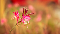 Pink infusion (Agapi Zampetaki) Tags: flower flowers colors green pink nature naturelovers