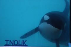 IMG_6902 (Bebelouga) Tags: orque marineland killerwhale orca