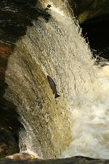 """Leaping Sea Trout """"Explored"""" (Derbyshire Harrier) Tags: stainforthforce waterfall autumn 2016 limestone fish yorkshire seatrout leaping juming yorkshiredales explored explore"""