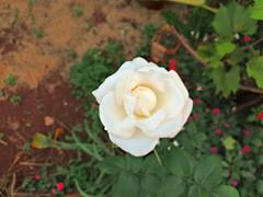 white rose (Rodrigo Ribeiro) Tags: nature natureza flor flower garden gardening jardim jardinagem rose rosa whiterose rosabranca