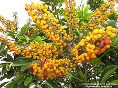 ARVORE COM BOLINHA VERMELHA E AMARELA (PHOTOGRAPHE PIVA CANTIZANI) Tags: arvore com bolinha vermelha e amarela