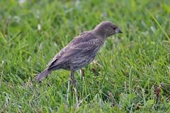 Tordo cabecicaf / Brown-headed Cowbird (Molothrus ater) (avgomo) Tags: usa unitedstates eeuu estadosunidos chicago fauna birds aves cowbird tordo