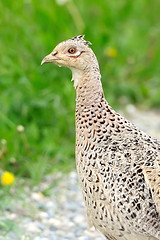 Ritratto di fagianella (ste.it) Tags: bird eye female pheasant occhio fagiano 70200vrii fagianella