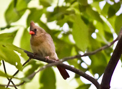 Female cardinal seeking male cardinal for baby makin' (Genevievery) Tags: bird birds female spring cardinal