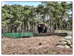Br im Serengeti Park Hodenhagen (Akita_Inu) Tags: bear park nature animal germany deutschland zoo great natur safari serengeti tier br braunbr baer brownbear sugetier serengetipark fantasic hodenhagen