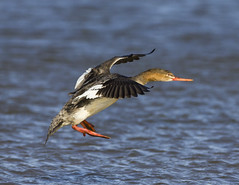 Red-breasted Merganser in flight (Cliff Collings Photography) Tags: bird gulfofmexico nature canon inflight wildlife waterfowl bif redbreasted gulfcoast dauphinisland merganser 550d