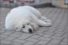 Old Boy MAX. (Jpnowak) Tags: dog giant gentle greatpyrenees
