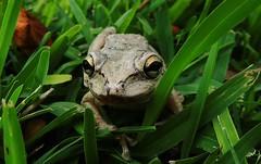 Cuban Tree Frog (Jim Mullhaupt) Tags: grass spring backyard flickr florida amphibian frog treefrog cubantreefrog bradenton mullhaupt jimmullhaupt