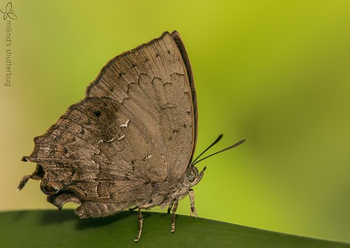 Common Acacia Blue - Surendra quercetorum -  5929