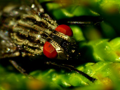 Rote Augen Effekt (acmelucky777) Tags: macro nature up animal animals germany insect deutschland tiere foto close wildlife natur insects nrw makro mode insekt 250 tier insekten entomologie fliege fliegen westfalen dcr nordrhein insecta raynox makroaufnahmen alsdorf 2013 brachycera p1030766 fleischfliege  kerbtiere