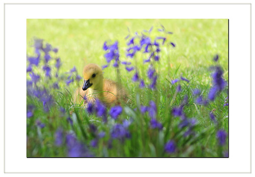 Bluebells. Goslings and Cream tea