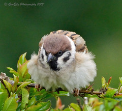 Steady Tiger. (GemElle Photography) Tags: tree bird nikon sparrow gemelle treesparrow sigma50500 d600 gemelle1