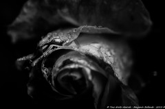 Black & white roses (Benjamin Ballande) Tags: roses white black