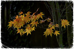 Japanese Maple (seaChange41) Tags: autumn christchurch sunlight leaves gold maple nz